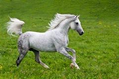 Gray Arab häst Fotografering för Bildbyråer
