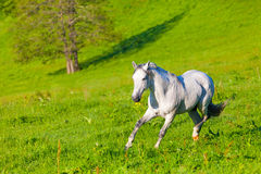 Gray Arab horse. Gallops on a green meadow Stock Photo