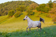 Gray Arab horse. Gallops on a green meadow Royalty Free Stock Photography