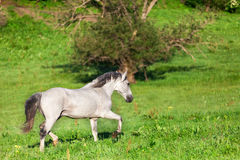 Gray Arab horse. Gallops on a green meadow Royalty Free Stock Images