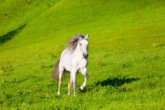 Gray Arab horse. Gallops on a green meadow Stock Photos