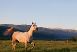 Gray Arab horse. Gallops on a green meadow Stock Photography