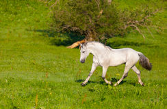 Gray Arab horse gallops. On a green meadow Stock Images