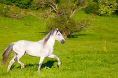 Gray Arab horse. Gallops on a green meadow Royalty Free Stock Photo