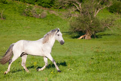 Gray Arab horse. Gallops on a green meadow Royalty Free Stock Image