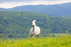 Gray Arab horse Stock Photography