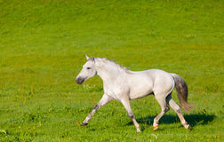 Gray Arab horse Stock Photo