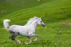 Gray Arab horse. Gallops on a green meadow Stock Image