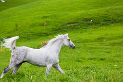 Gray Arab horse Stock Photos