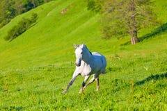 Gray Arab horse. Gallops on a green meadow Royalty Free Stock Photos