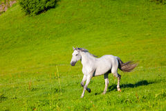 Gray Arab horse. Gallops on a green meadow Stock Images