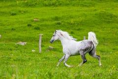 Gray Arab häst Royaltyfria Bilder