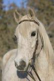 Gray Arabian Gelding mordu par puce plus ancienne image libre de droits