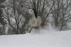 Gray Arabian-Hengst, der auf eine schneebedeckte Steigung trottet Im Hintergrund sind die Spitzen der Bäume stockbilder