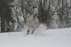 Gray Arabian-hengst die op een koord op een sneeuwhelling draven stock fotografie