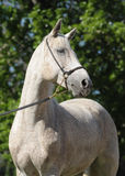 Gray Arabian horse Stock Photography
