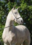 Gray Arabian horse Stock Photography