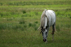 Gray Arabian horse in field. Scenic view of gray or grey Arabian horse grazing in green countryside field or pasture Stock Photos