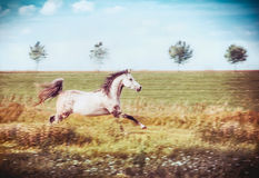 Gray arabian horse running gallop at late summer field Stock Image