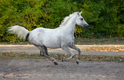 Gray arabian horse runs gallop in the farm Royalty Free Stock Image
