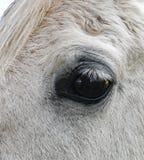 Gray Arabian Horse`s eye Stock Photo