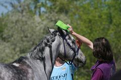 Gray Arabian horse washed at endurance competitions. royalty free stock photography