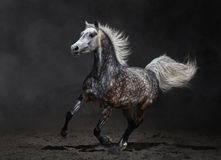 Gray arabian mare gallops Royalty Free Stock Photos