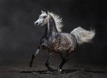 Gray arabian mare gallops. Gray arabian horse gallops on dark background Royalty Free Stock Photos