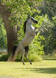 Gray Arabian stallion with black mane and tail rearing in a green field with a tree in the background royalty free stock image