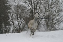 Gray Arabian stallion trotting on a cord on a snowy slope. In the background are the tops of the trees. royalty free stock photo