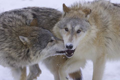 Gray or Arctic Wolves Royalty Free Stock Image