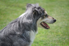 Gray Australian Shepherd Sitting fotos de stock royalty free