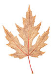 Gray autumn maple leaf isolated on white background Royalty Free Stock Photography