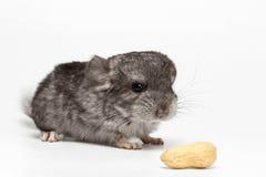 Gray Baby Chinchilla avec des arachides sur le blanc Photos stock