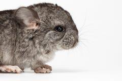 Gray Baby Chinchilla dans la vue de profil sur le blanc Photographie stock