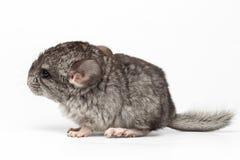 Gray Baby Chinchilla dans la vue de profil sur le blanc Photos libres de droits