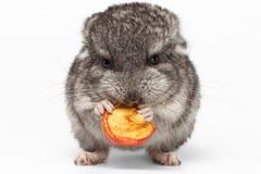 Gray Baby Chinchilla Eating Apple en blanco Imagen de archivo libre de regalías