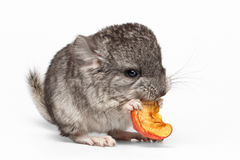 Gray Baby Chinchilla Eating Apple på vit Royaltyfri Fotografi