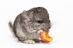 Gray Baby Chinchilla Eating Apple su bianco Fotografia Stock Libera da Diritti
