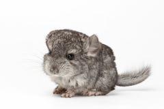 Gray Baby Chinchilla en la opinión del perfil sobre blanco Fotos de archivo