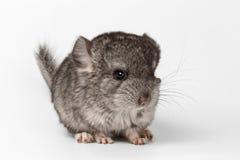 Gray Baby Chinchilla en la opinión del perfil sobre blanco Imagen de archivo libre de regalías