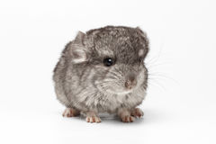 Gray Baby Chinchilla on white. Gray Baby Chinchilla Loocking in camera on white Background Royalty Free Stock Images