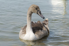 A gray baby Swan on the lake Stock Photography