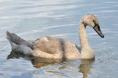 Gray baby swan on water Royalty Free Stock Photography