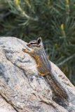 Gray Backed Chipmunk. Vertical Composition of Agile Cliff Chipmunk, aka Gray-Backed Chipmunk, Climbing On Large Boulder In Great Basin National Park, Nevada Royalty Free Stock Image