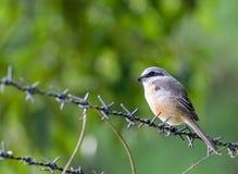 Gray-backed Shrike bird Stock Images