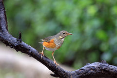 Gray-backed Thrush, Turdus hortulorum Stock Image