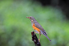 Gray-backed Thrush, Turdus hortulorum Royalty Free Stock Photography