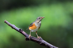 Gray-backed Thrush, Turdus hortulorum Stock Images