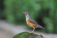 Gray-backed Thrush, Turdus hortulorum Stock Photos